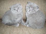 Шотландские плюшевые вислоухие и прямоухие  котята продам.