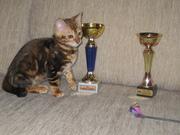 Бенгальские   котята. 1..