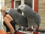 Ручные и дружественные африканские серые попугаи