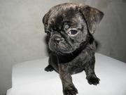 продам щенаов мопса с необыкновенным тигровым окрасом