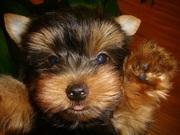 Здоровые и очаровательны  йоркширский  щенков щенки