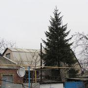 Ель обыкновенная 7-8 метров