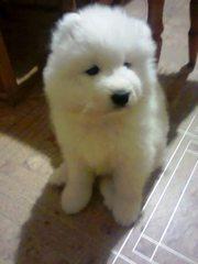 Продаются щенки Самоедской собаки