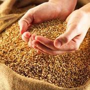Закупаем семечку масличную,  пшеницу фуражную