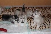 Открыта бронь на щенков сибирский хаски