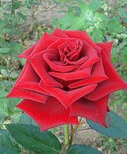 Продам саженцы роз,  плодовых деревьев. Бахмут
