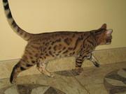 Бенгальские  котята....